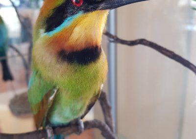 Rainbow Bee Eater